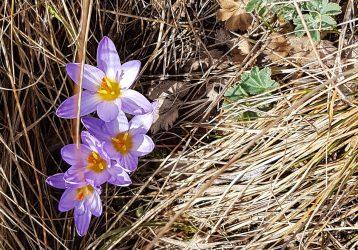 Цветение крокусов в горах