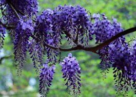 Цветение глицинии в Абхазии