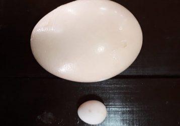 страусиное-и-куриное-яйцо-Сафари-на-урале-